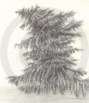 A Drooping Pine Tree Sketch, Inet Innovations