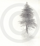 A Sketch Of A Pine Tree