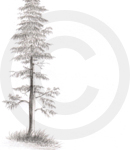 A Graphite Sketch Of A Tall Pine Tree